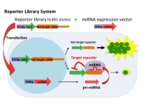 Identification of targets of tumor suppressor microRNA-34a using a reporter library system