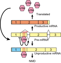 Evolutionarily conserved autoregulation of alternative pre-mRNA splicing by ribosomal protein L10a.