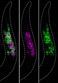 Visualization of RNA processing patterns of an insulin receptor gene in C. elegans.