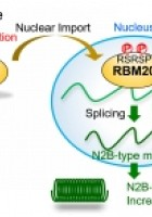 Phosphorylation of the RSRSP stretch is critical for splicin...